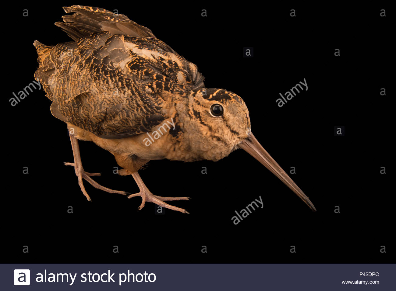American woodcock, Scolopax minor, at Wildcare in Noble, Oklahoma. - Stock Image