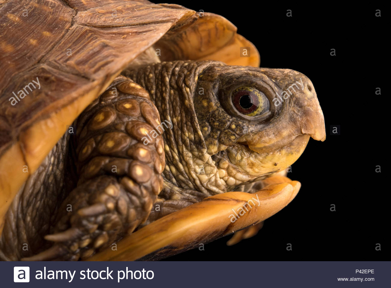 Northern spotted box turtle, Terrapene nelsoni klauberi, at the Arizona-Sonora Desert Museum. Stock Photo