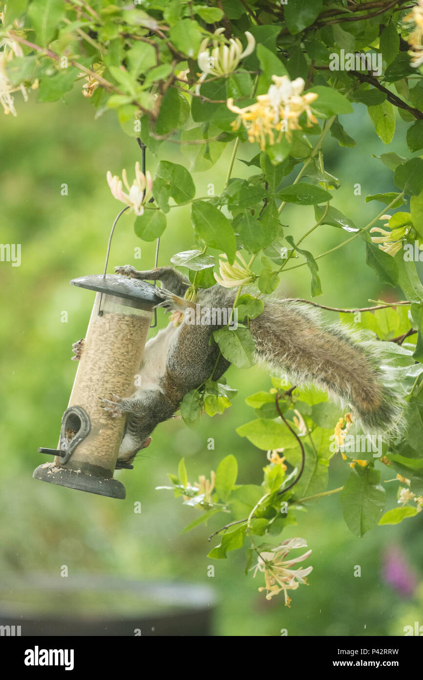 Stirlingshire, Scotland, UK - 20 June 2018: UK weather - a grey squirrel almost takes a tumble in a Stirlingshire garden as it leaps onto a bird feeder on a damp and overcast morning  after overnight rain Credit: Kay Roxby/Alamy Live News - Stock Image