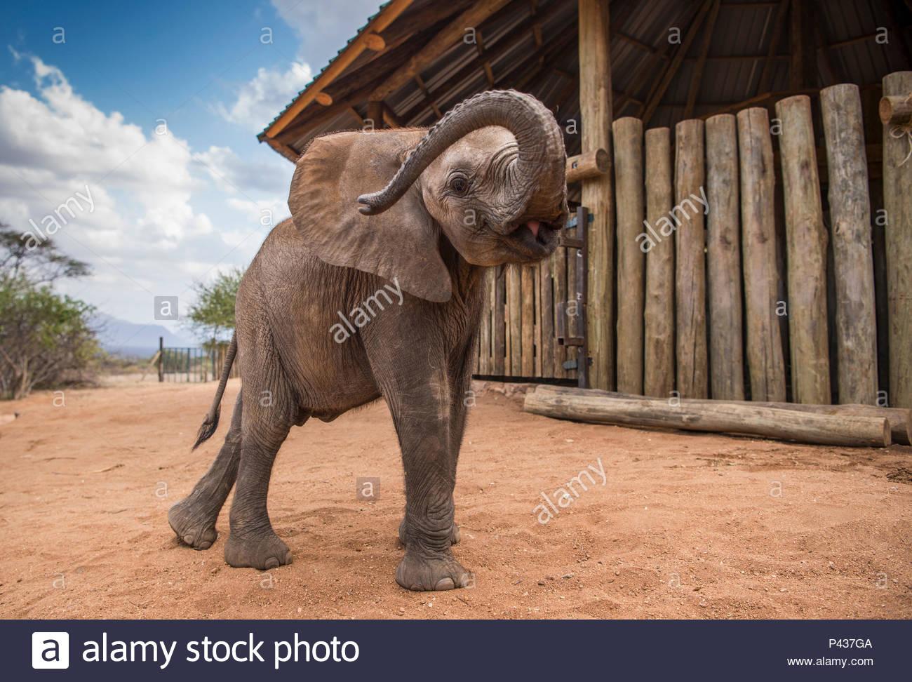 An orphan elephant at the Reteti Elephant Sanctuary in northern Kenya. - Stock Image