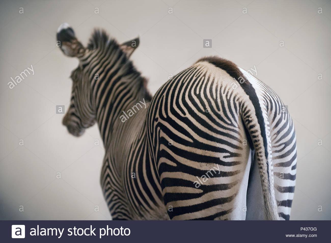 Grevy's zebra, Equus grevyi, at the Lee G. Simmons Conservation Park and Wildlife Safari near Ashland, Nebraska. - Stock Image
