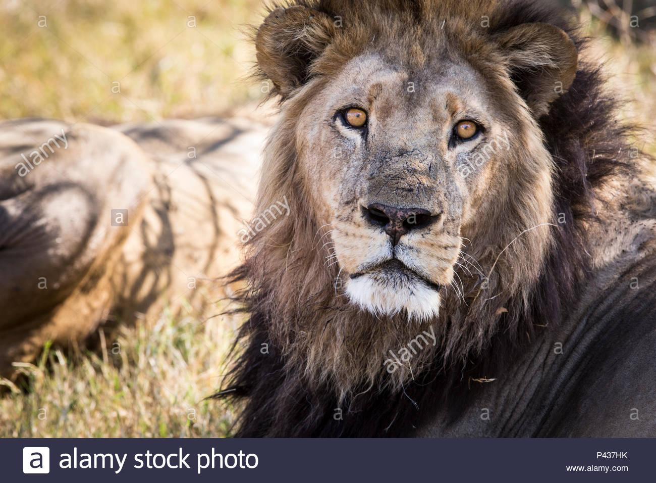 A lion in the grasslands of the Okavango Delta. - Stock Image
