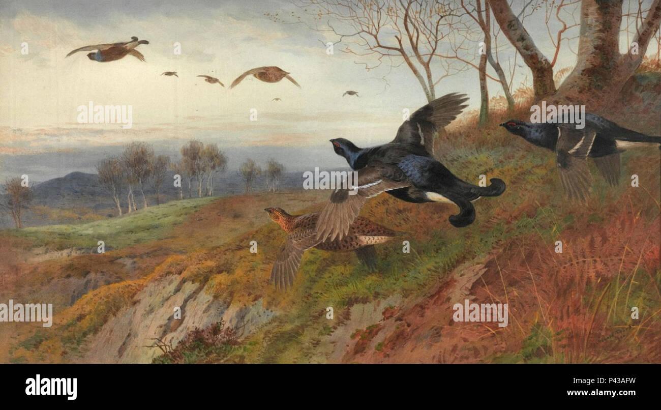 Thorburn  Archibald - Autumn Alarm - Blackgame in Flight - Stock Image