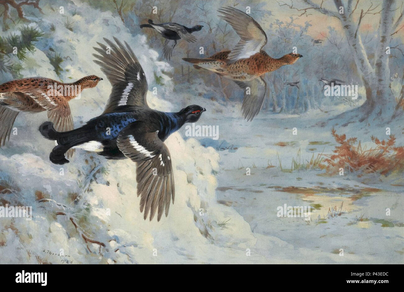 Thorburn  Archibald - Through the Snowy Coverts - Blackgame - Stock Image