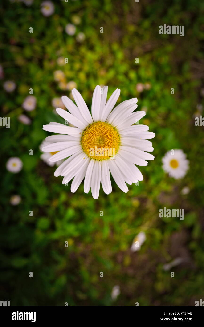 Picture Of Daisy Flower Stock Photos Picture Of Daisy Flower Stock