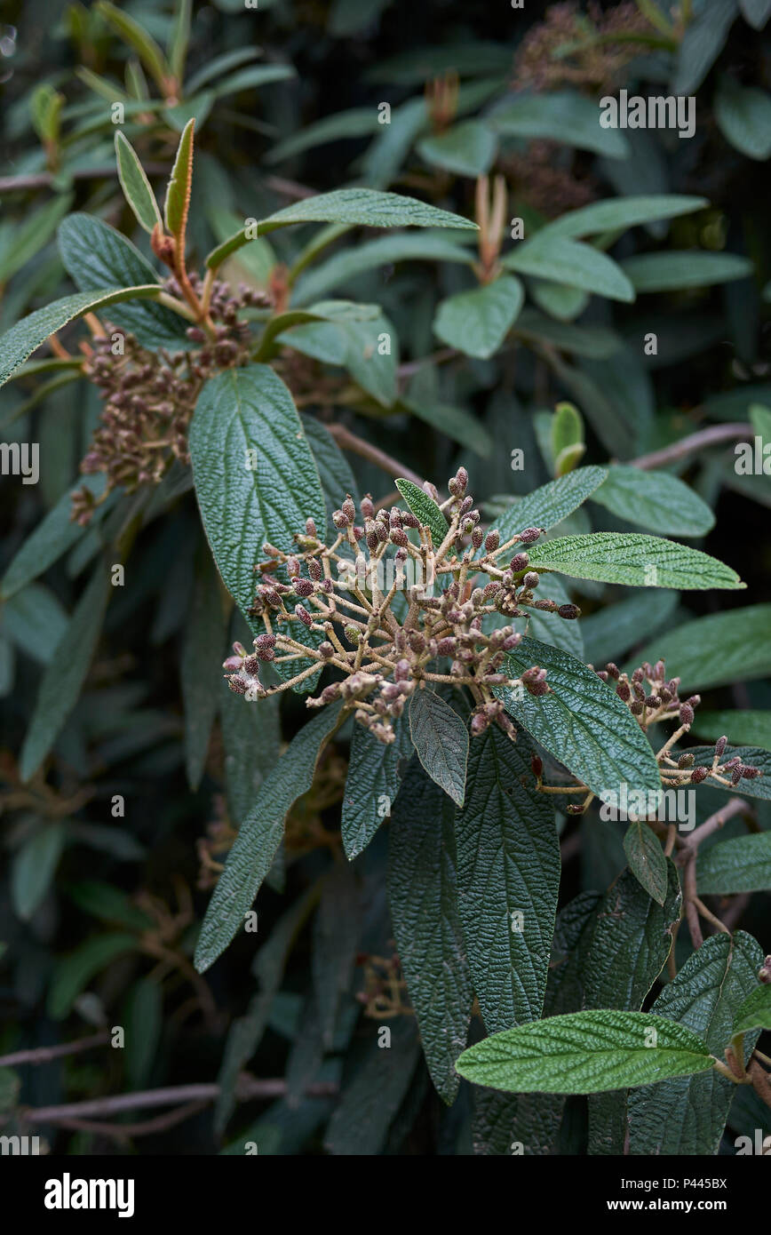 Viburnum rhytidophyllum - Stock Image