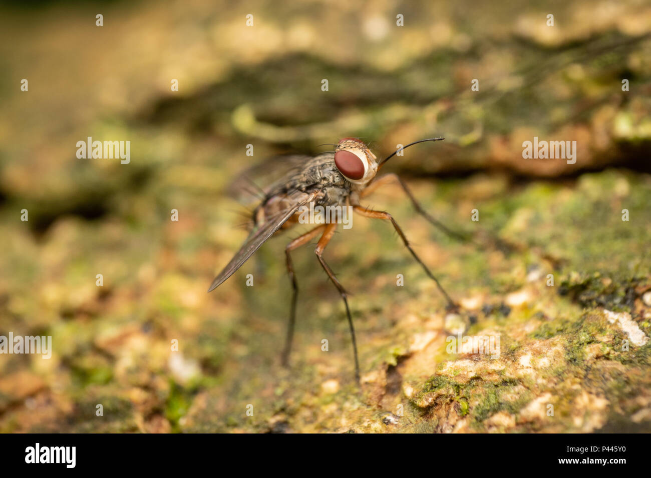 The Tachinidae are a large and variable family of true flies within the insect order Diptera. Insects in this family commonly are called tachina flies Stock Photo