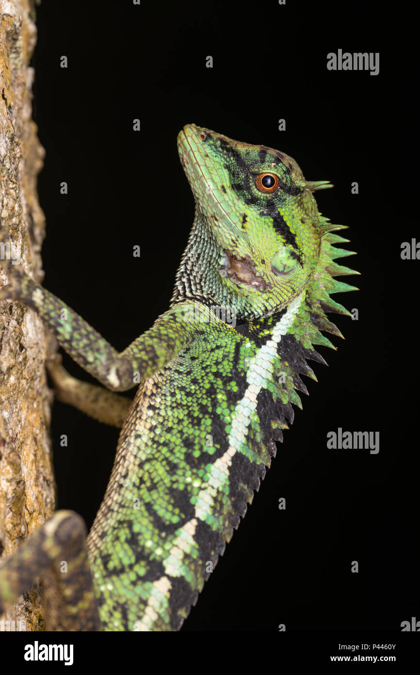 Calotes emma, commonly known as Emma Gray's forest lizard and the Forest Crested Lizard, is a species of lizard in the family Agamidae. - Stock Image