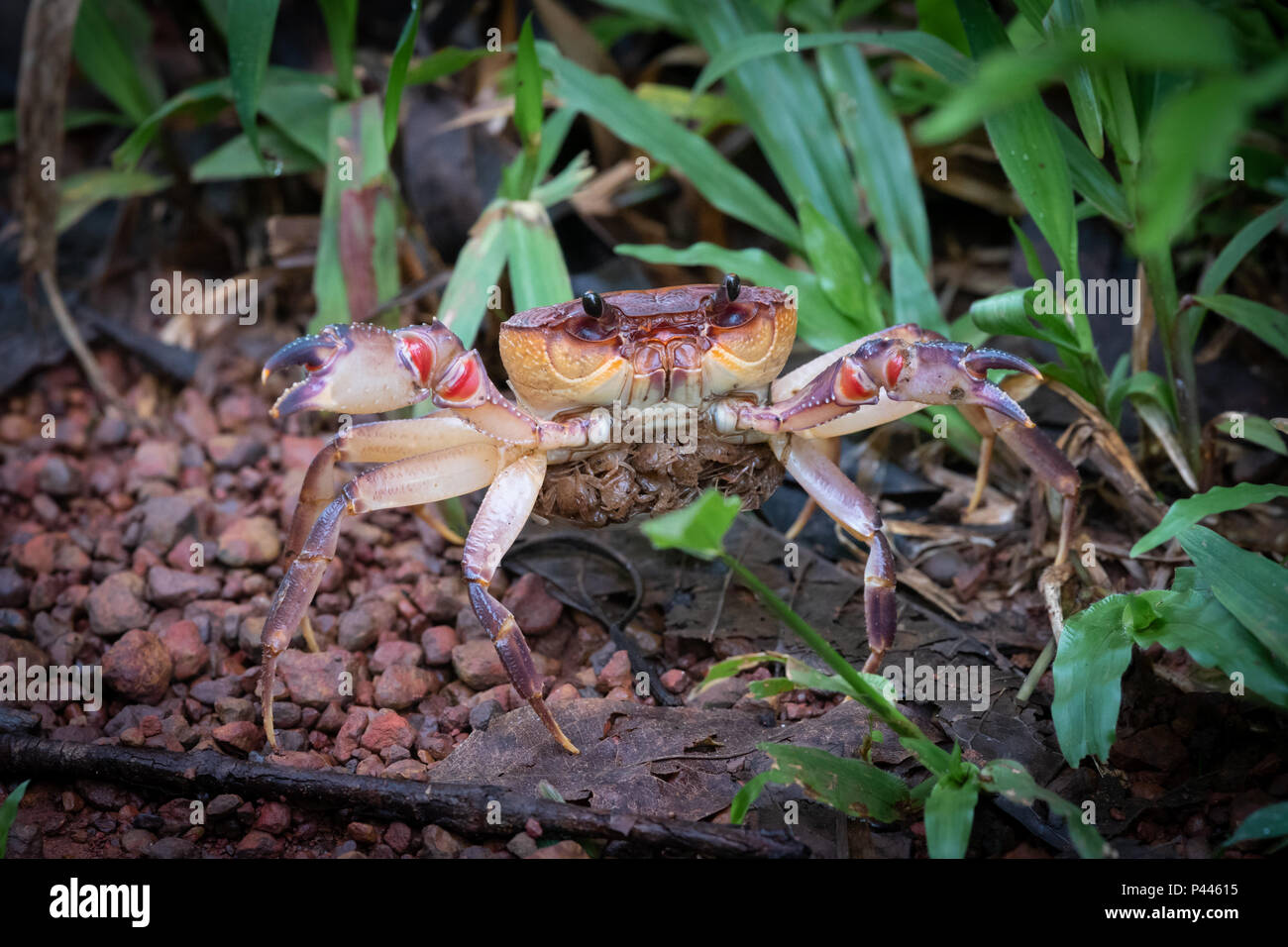 There are around 1,300 species of freshwater crabs, distributed throughout the tropics and subtropics, divided among eight families. They show direct  Stock Photo