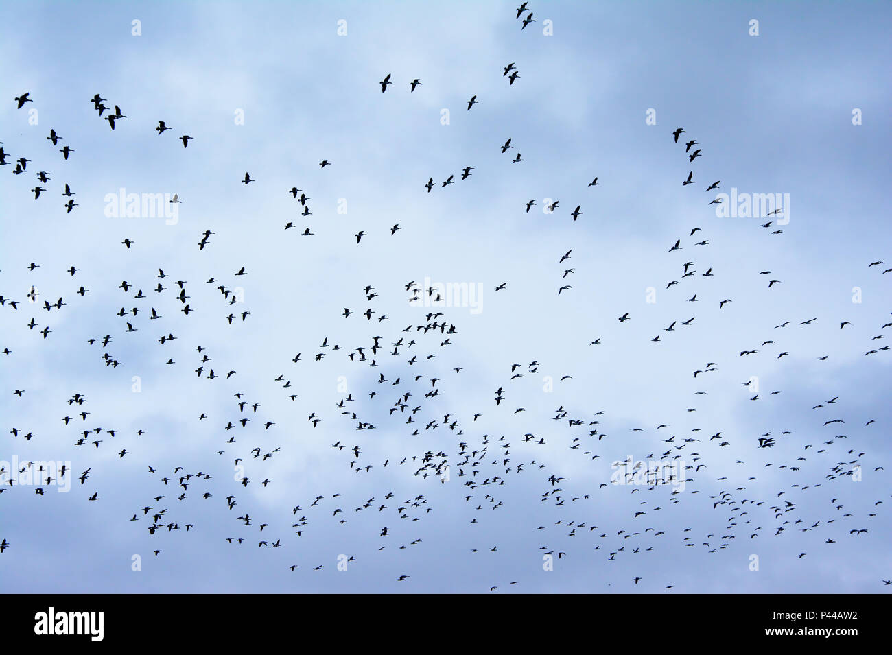 Big swarm of geese in flight formation, migrating before the winter comes, on a soft cloudy sky - Stock Image