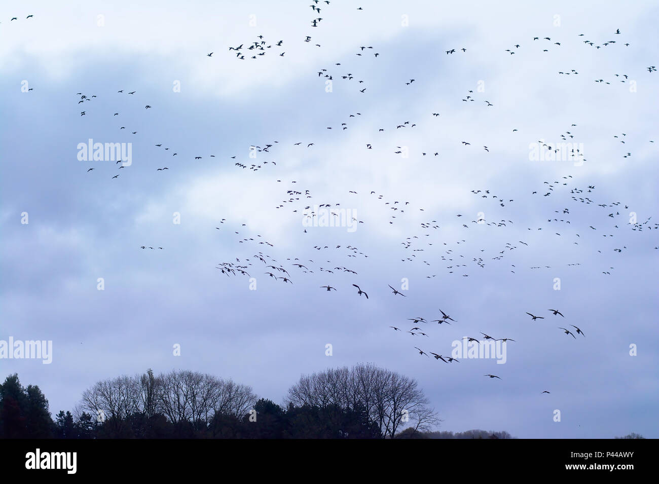 Big flock of northern lapwings in flight formation, migrating before the winter come - Vanellus vanellus - Stock Image