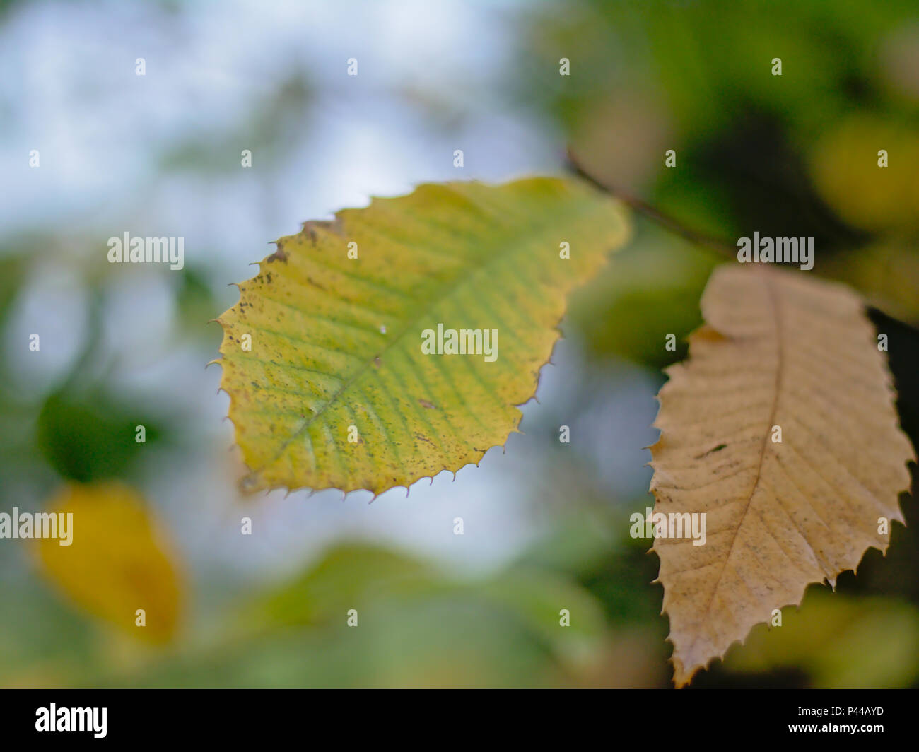 Asian chestnut oak leafs, selective focus with soft blurry background - Quercus acutissima - Stock Image