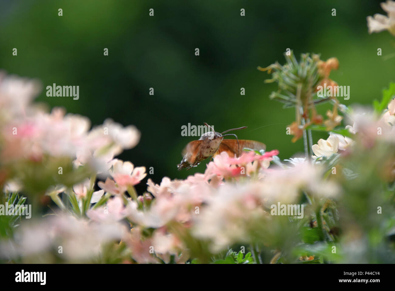 macroglossum stellatarum hovering over pink flowers in early summer, hummingbird hawk-moth sucking nectar from a flower, bee-moth sipping nectar - Stock Image
