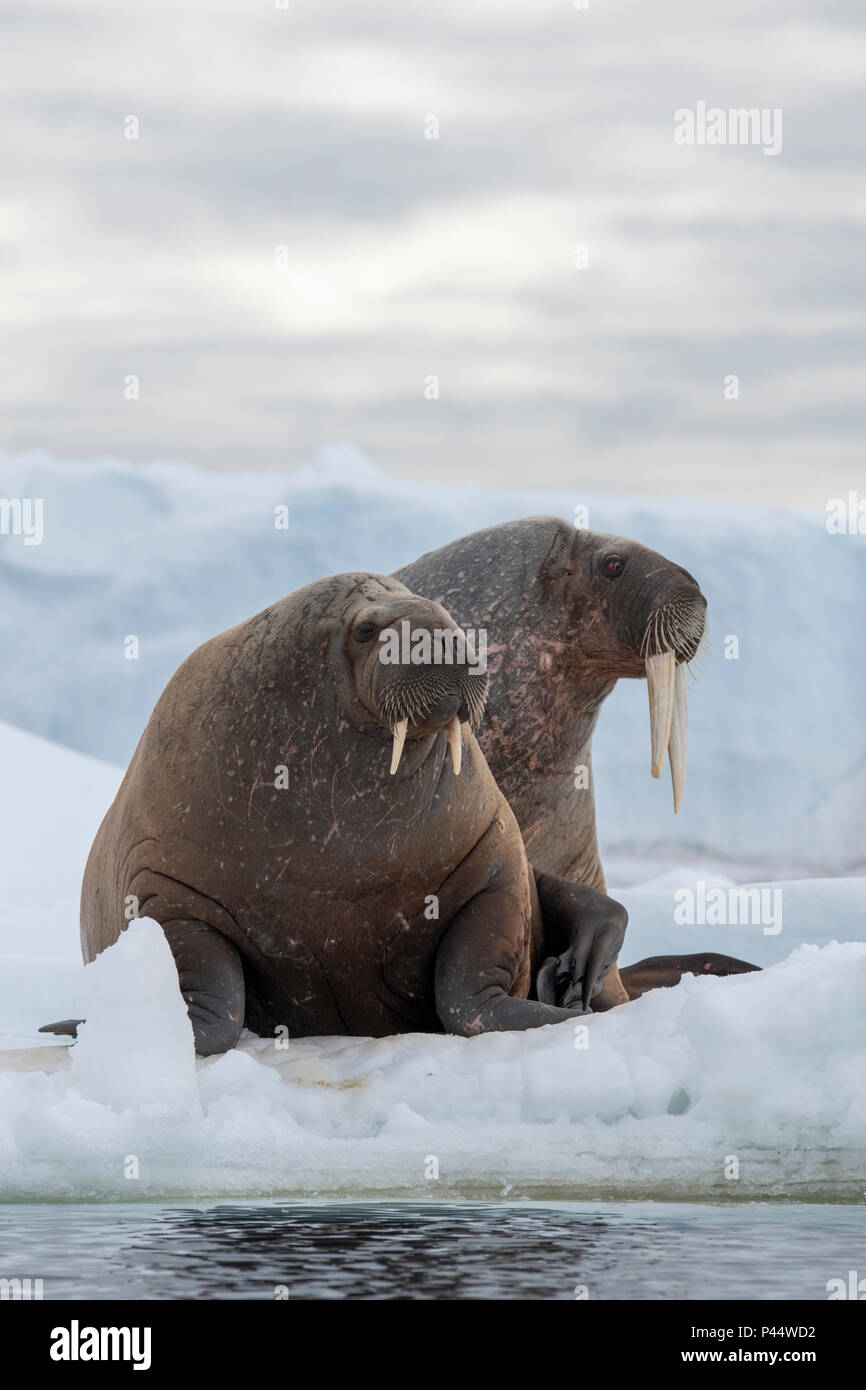 Norway, Svalbard, Nordaustlandet, Austfonna. Walrus (Odobenus rosmarus) with Austfonna Ice Cap in the distance. - Stock Image