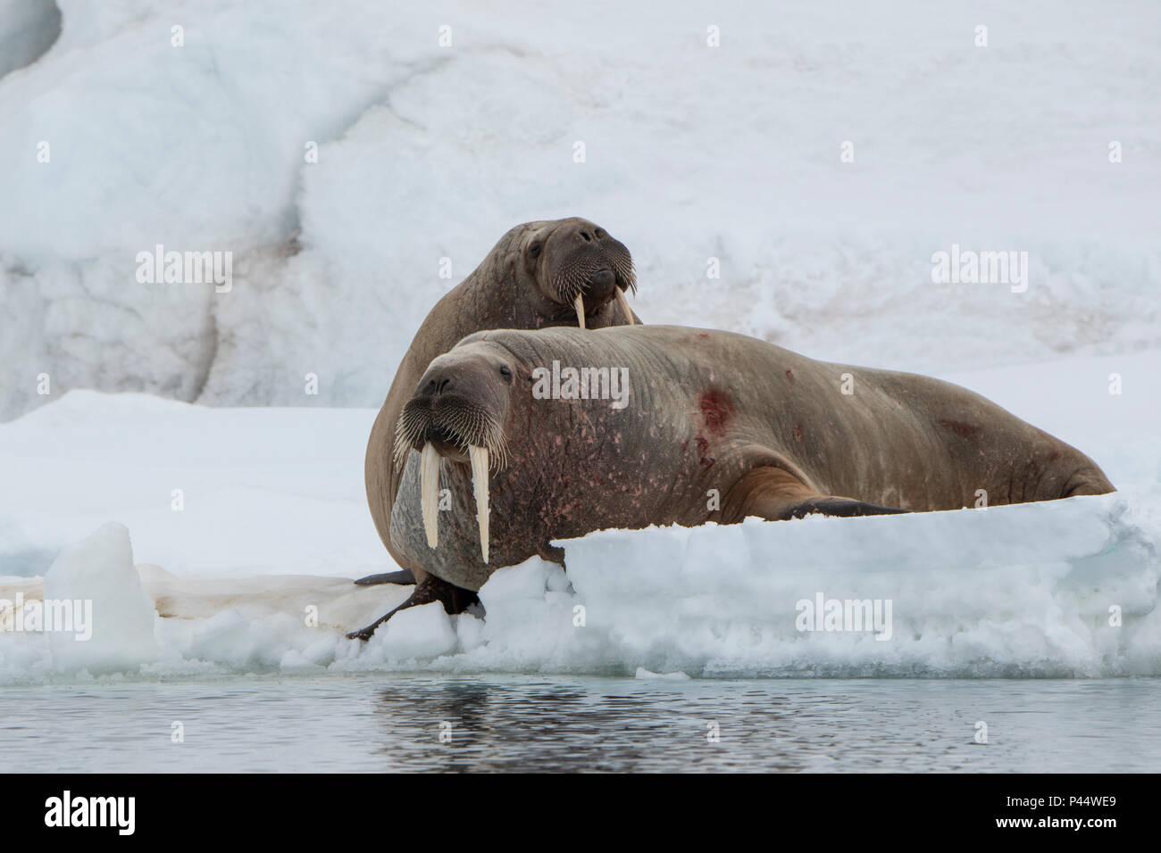Norway, Svalbard, Nordaustlandet, Austfonna. Walrus (Odobenus rosmarus) on ice. Stock Photo