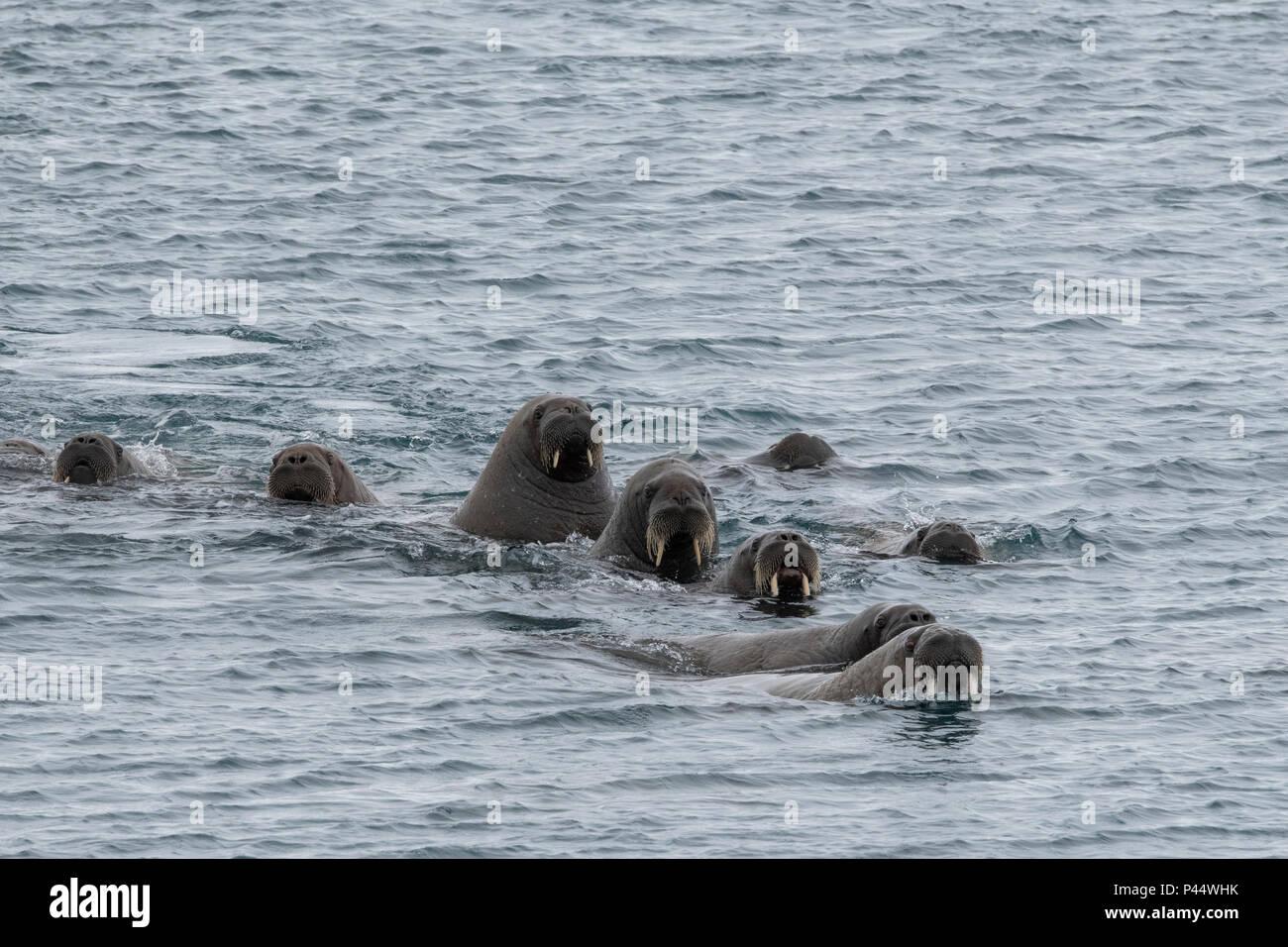Norway, Svalbard, Nordaustlandet, Austfonna. Walrus (Odobenus rosmarus) swimming near icecap. Stock Photo
