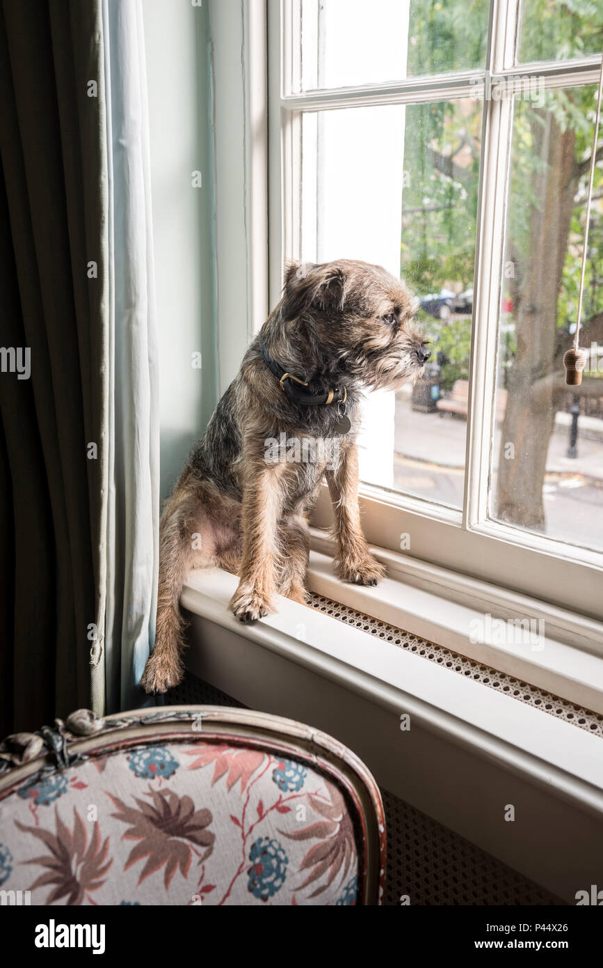 Border terrier sits on windowsill in London home - Stock Image
