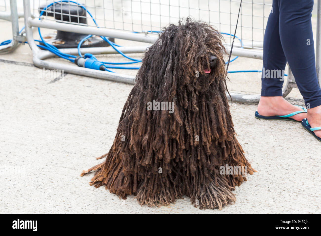 Hungarian puli dog, also known as mop dog, at Poole, Dorset UK in June - Stock Image