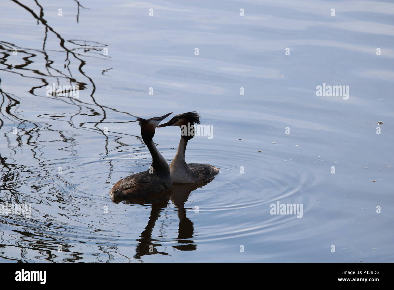 Great Crested Grebes (Podiceps cristatus), North West England, UK - Stock Image