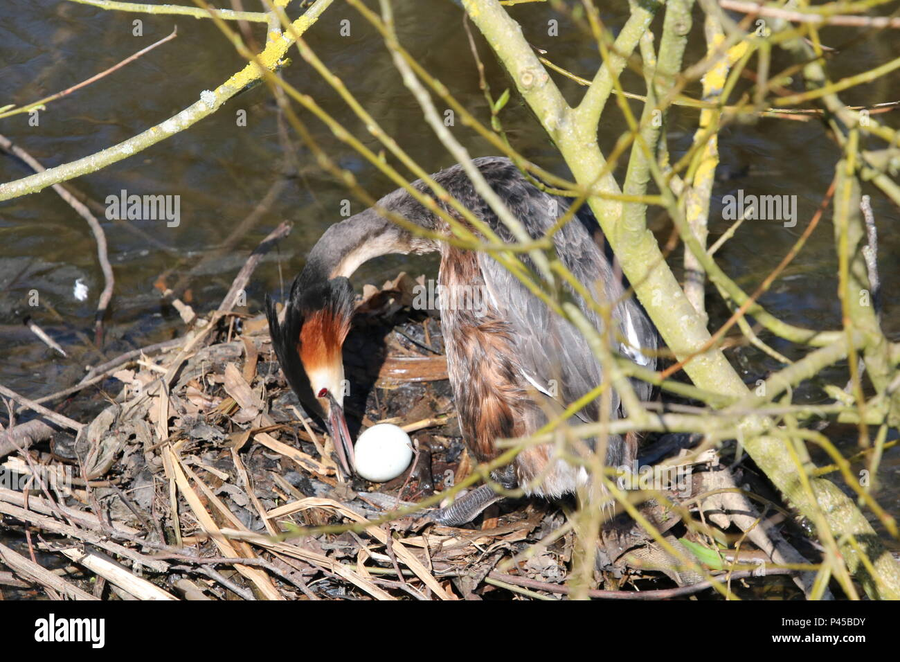 Great Crested Grebe (Podiceps cristatus), on nest with egg North West England, UK - Stock Image