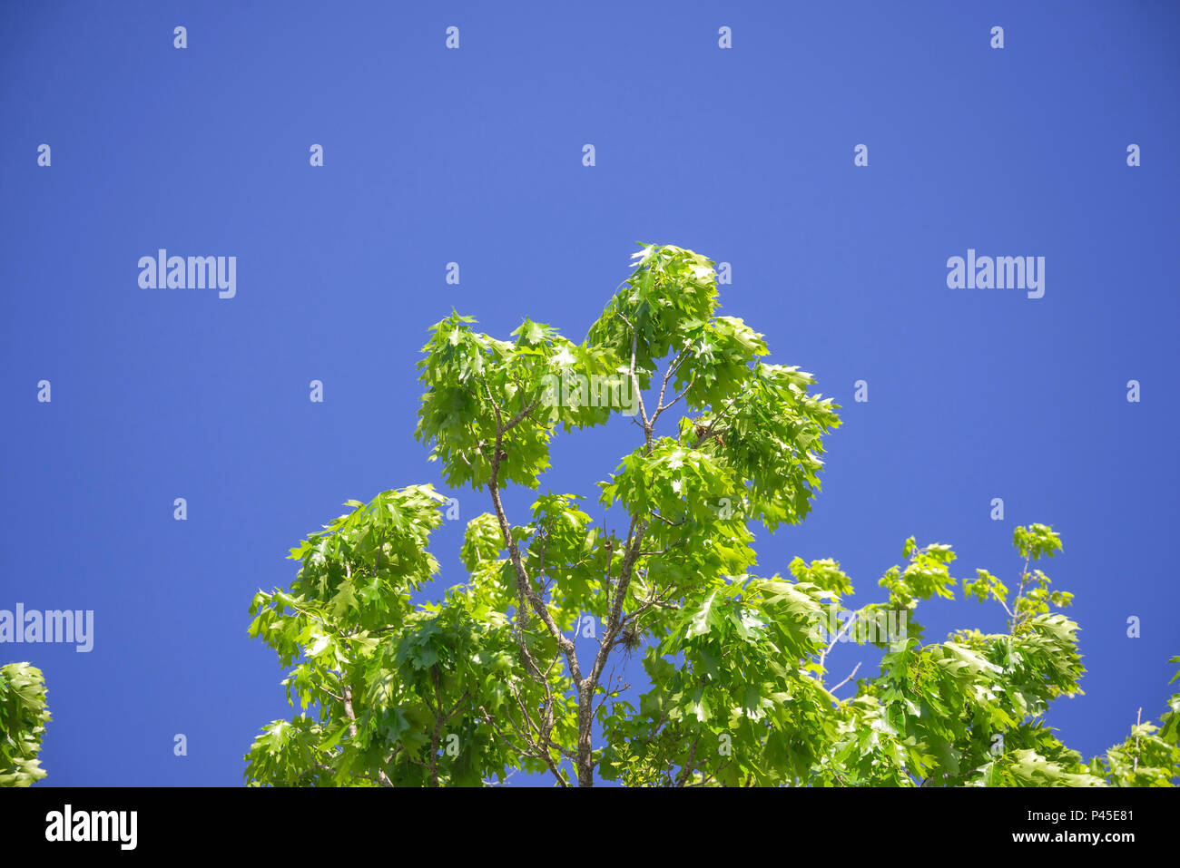 New spring growth on an oak tree in North Central Florida. - Stock Image