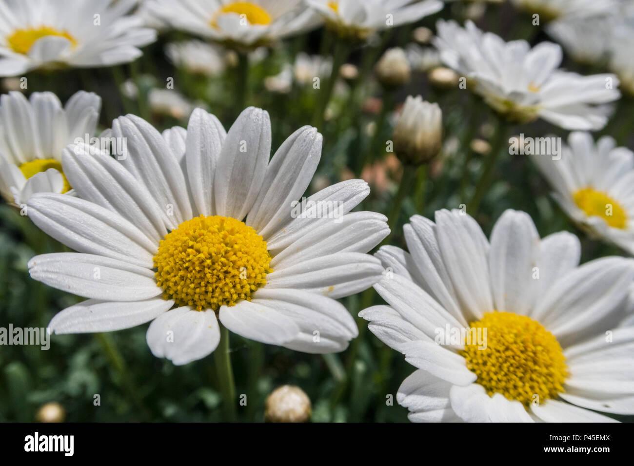 Marguerites,  argyranthemum, a white flowering member of the Aster family.marguerite. - Stock Image