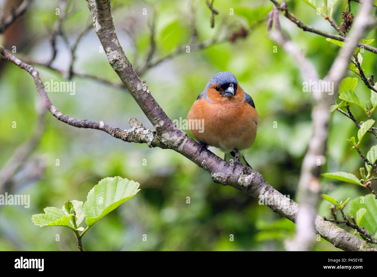 Male Common Chaffinch (Fringilla coelebs) bird in spring plumage on a Beech tree branch in a garden hedgerow. Wales, UK, Britain - Stock Image
