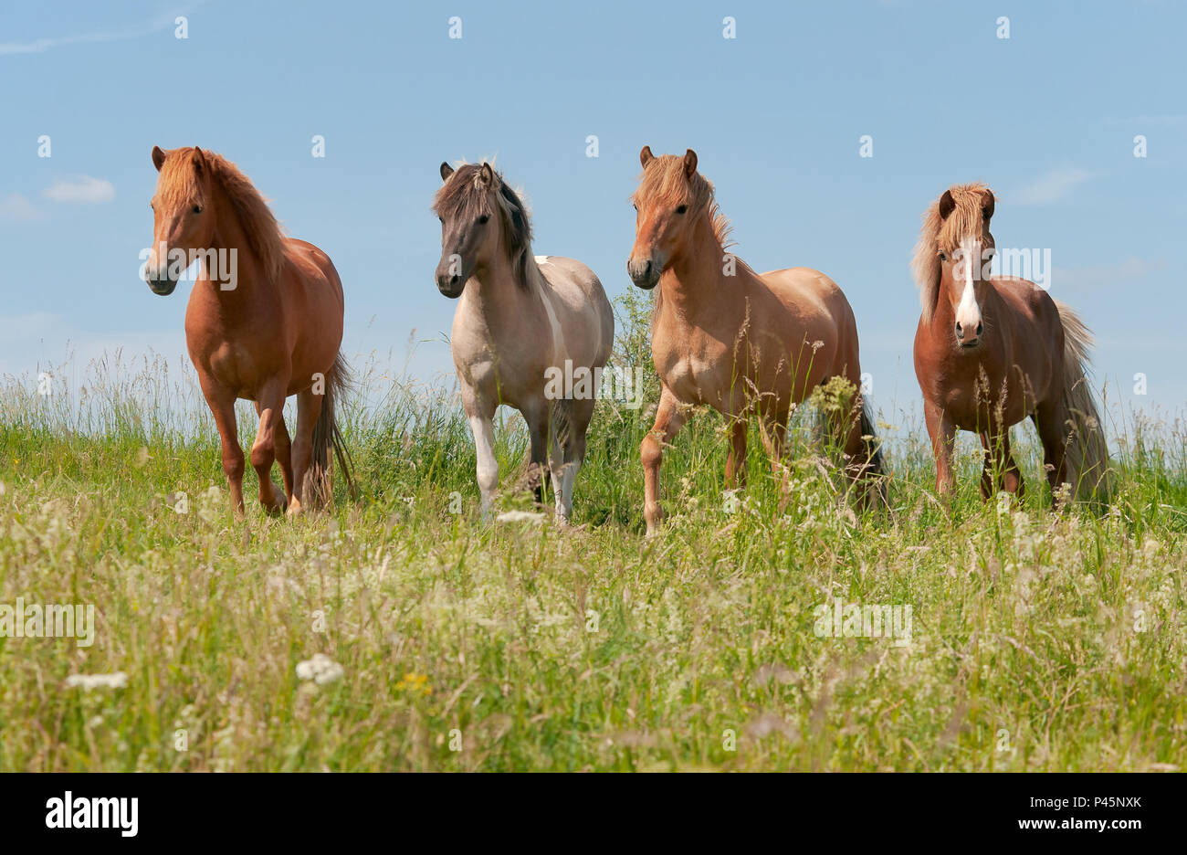 Four Icelandic horses standing in a green grass meadow, young stallions with different coat colors, chestnut, mouse dun tobiano and red dun, Germany Stock Photo