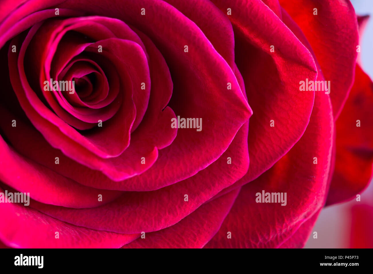 Macro of centre of beautiful, velvety red rose - Stock Image