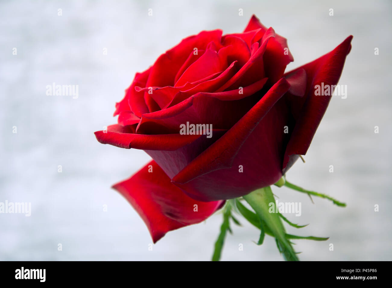 Closeup of beautiful, velvety red rose against white background - Stock Image