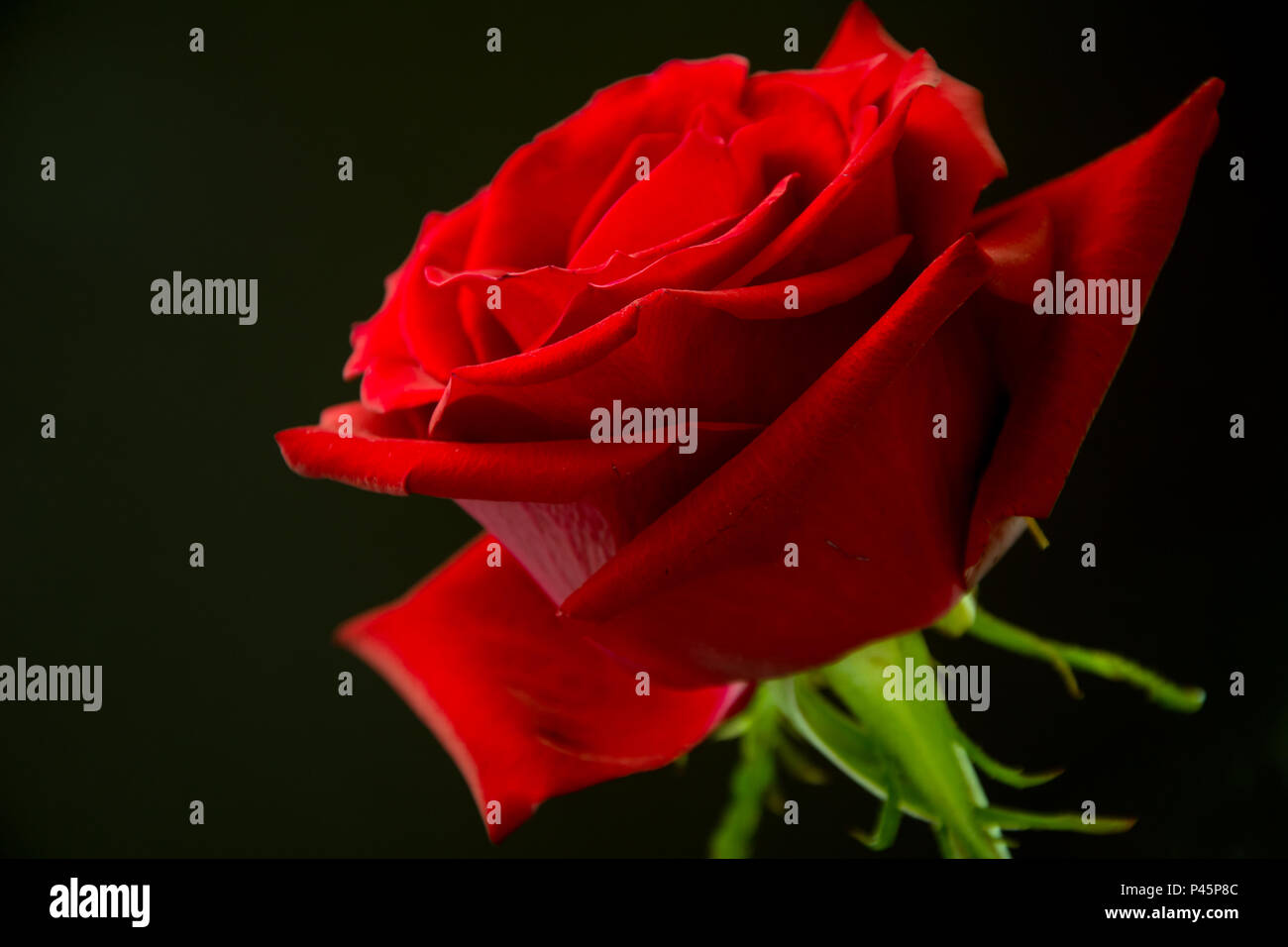 Closeup of beautiful, velvety red rose against black background - Stock Image