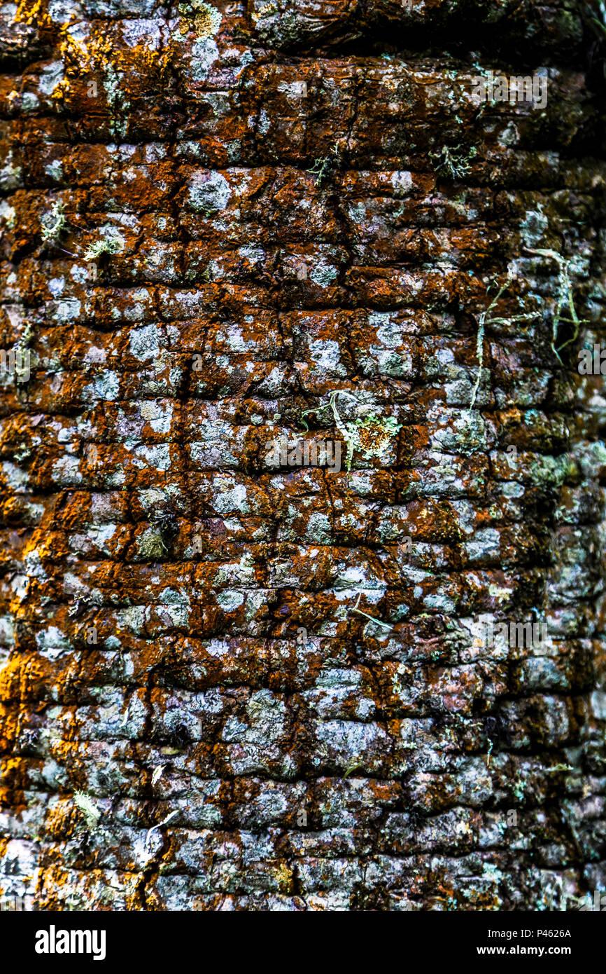 Araucaria. Árvore, fotoarena, textura. São Bento do Sapucai/SP, Brasil. Data: 02/01/2014 Foto: German Espiaut /Fotoarena - Stock Image