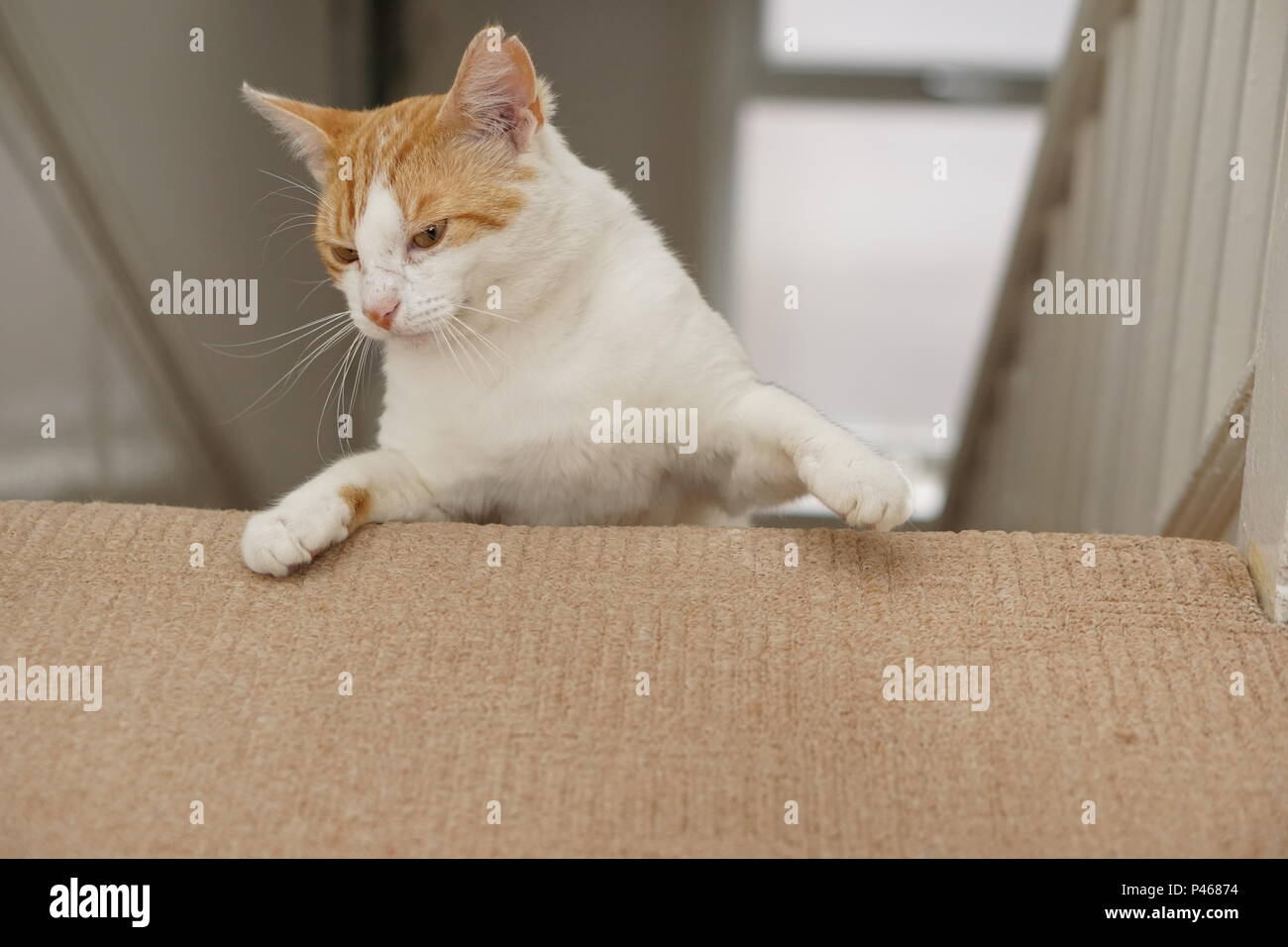 White And Ginger Cat On Staircase