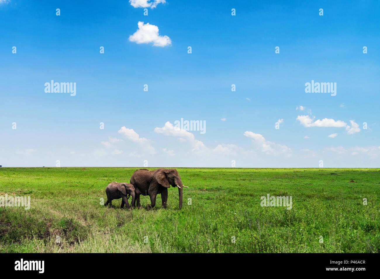 Browsing African elephants or Loxodonta cyclotis - Stock Image