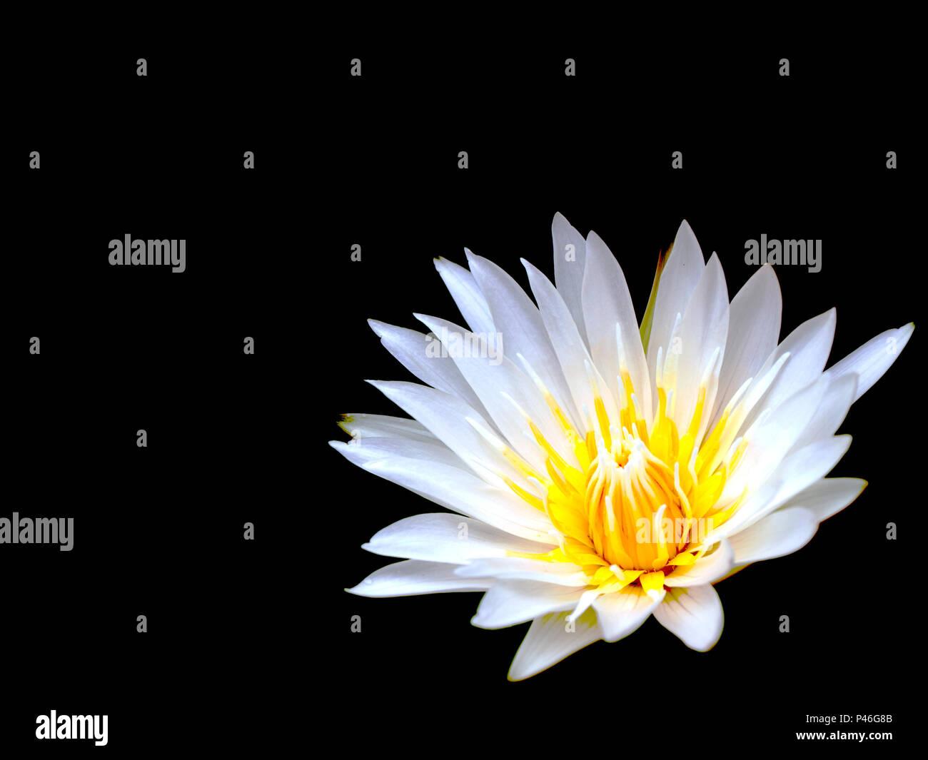 Beautiful White Lotus Flower Isolated On Black Background Stock