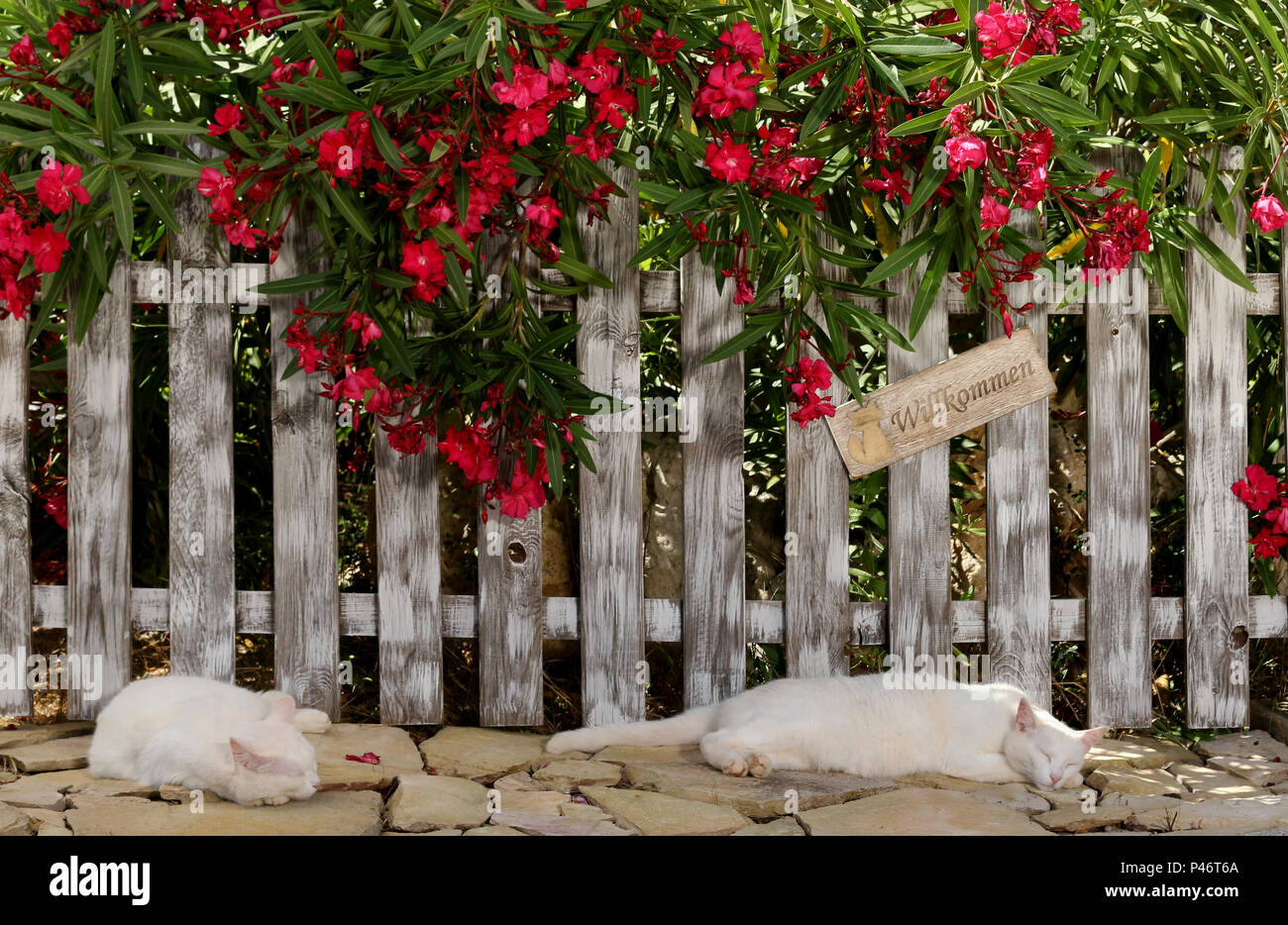 two white cats sleeping at a fence with an oleander shrub - Stock Image