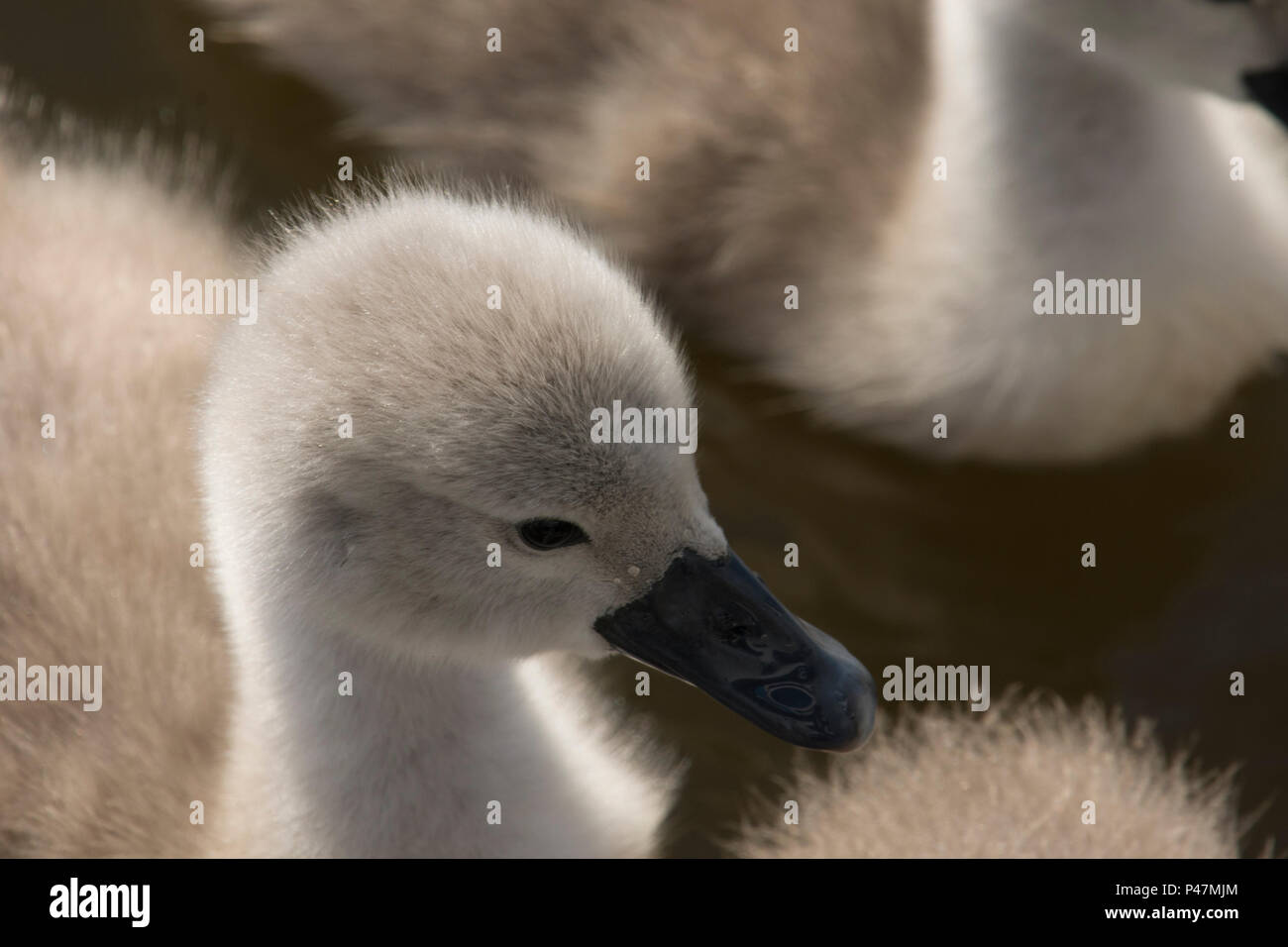 Close up of mute swan cygnet's head, Baby swan's fluffy head, Mute Swan, Cygnus olor, Norfolk Broads, The River Ant, UK. May Stock Photo