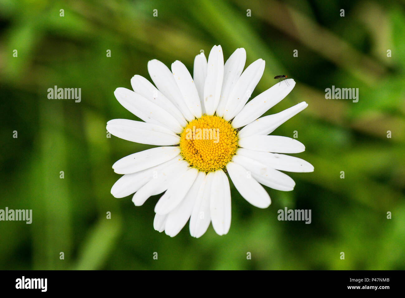An ox-eye daisy (Leucanthemum vulgare) Stock Photo