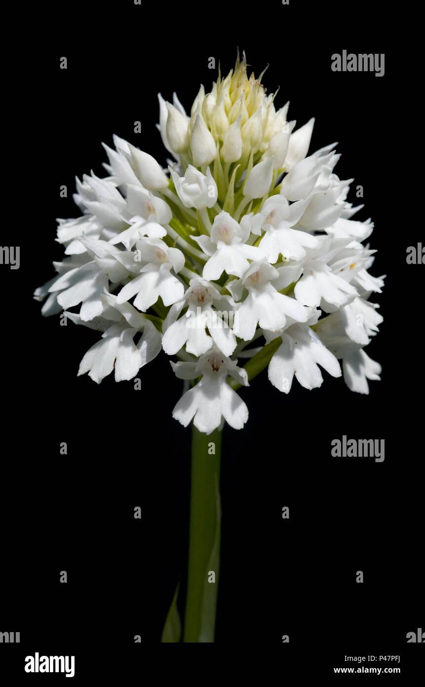 Rare White Flowers Inflorescence Albiflora Version Of Wild