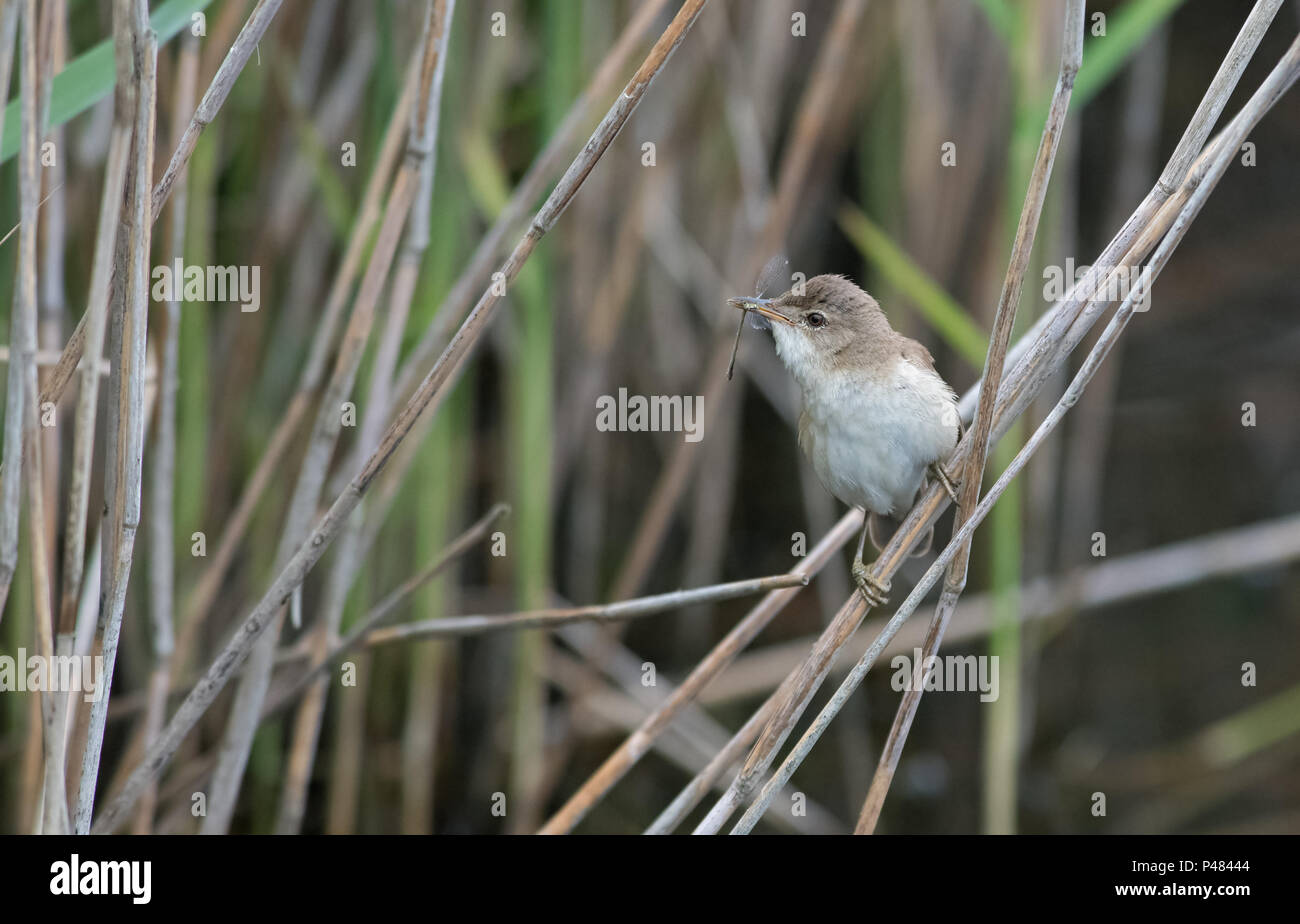 Reed Warbler Acrocephalus Scirpaceus Takes Caught Dragonfly To Feed Young Uk Stock Photo Alamy