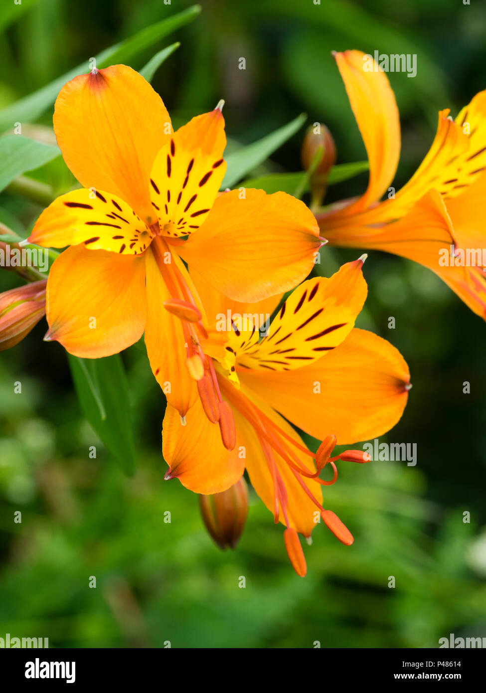 Orange flowered form of the Peruvian lily, Alstroemeria aurea (A.aurantiaca), blooming in Early summer. Stock Photo