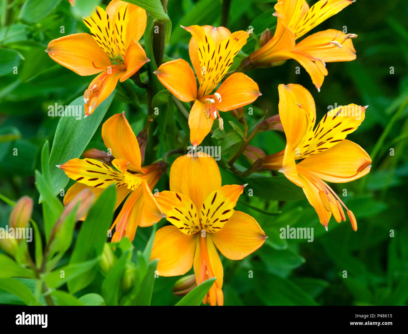 Orange Flowered Form Of The Peruvian Lily Alstroemeria Aurea A Aurantiaca Blooming In Early Summer Stock Photo Alamy