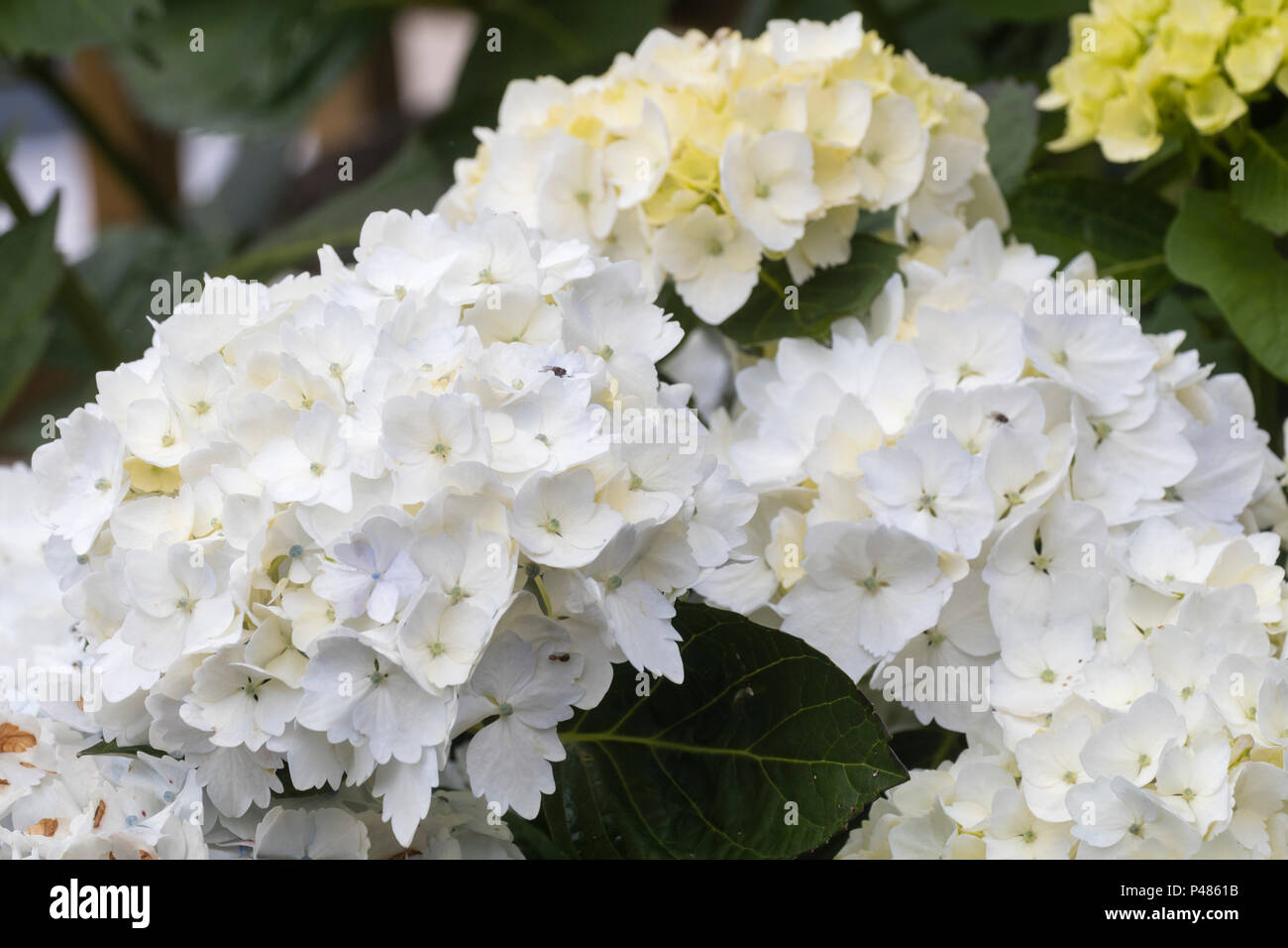 Sterile flowers of the repeat blooming mophead hydrangea shrub, Hydrangea macrophylla 'Madame Emile Mouillère' - Stock Image
