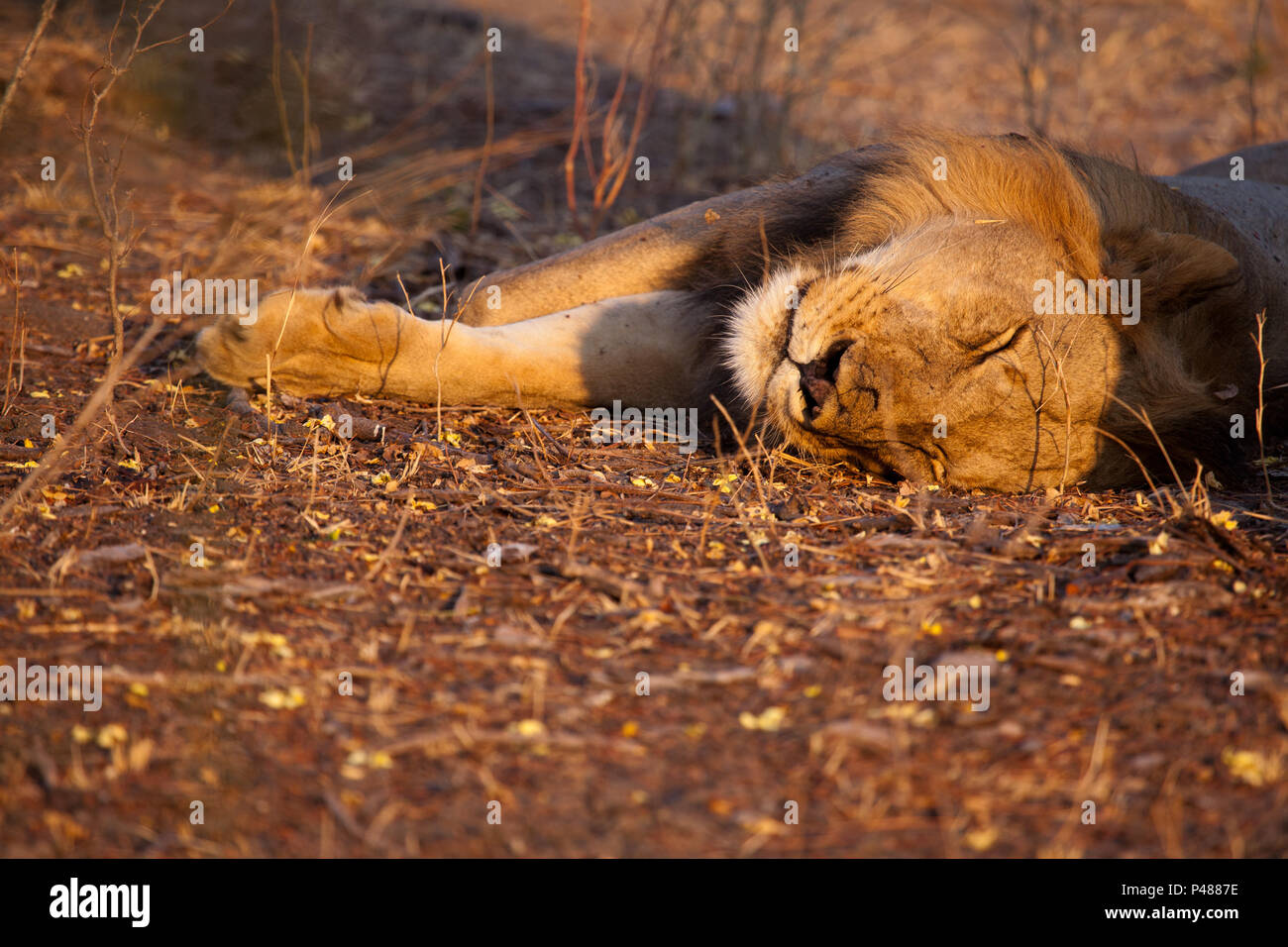 A young male lion snoozes at dawn, Selous Game Reserve - Stock Image