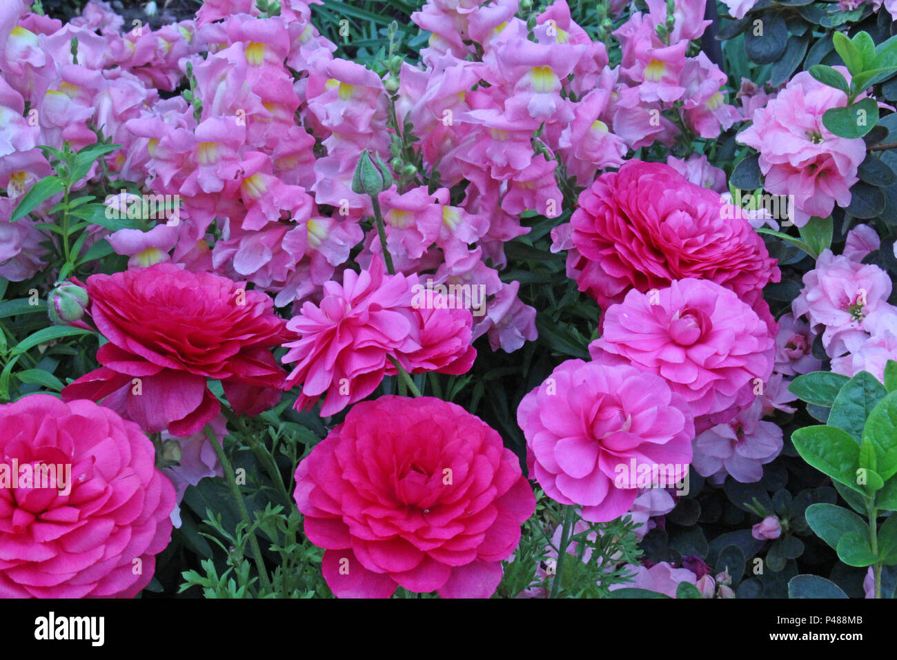 Pink red flowers in flower bed stock photos pink red flowers in close up of a beautiful flower bed filled with pink and red ranunculus and pink snapdragons izmirmasajfo