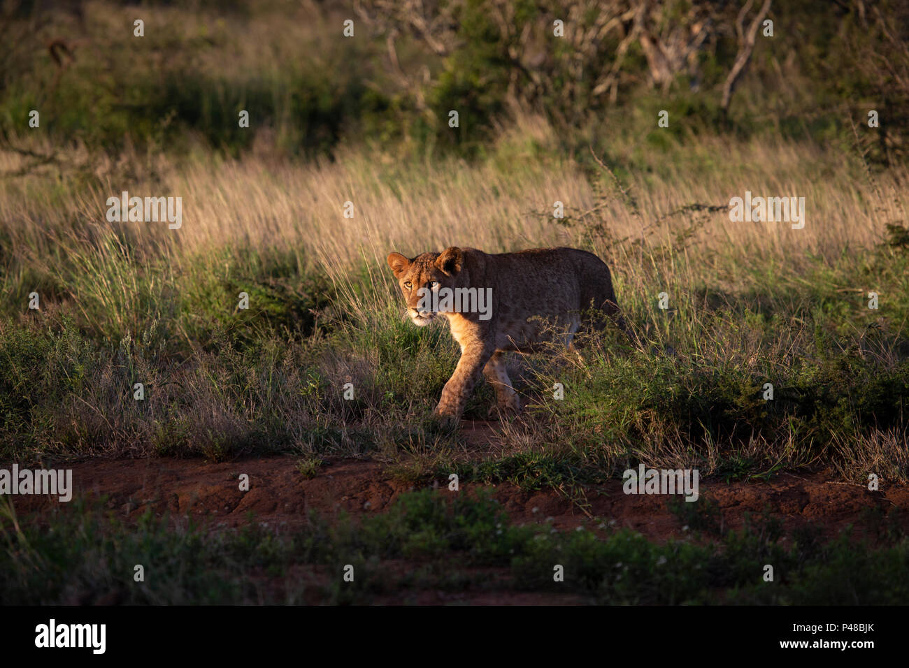 Young lion Panthera leo prowling on the hunt in dusk in the long grass - Stock Image