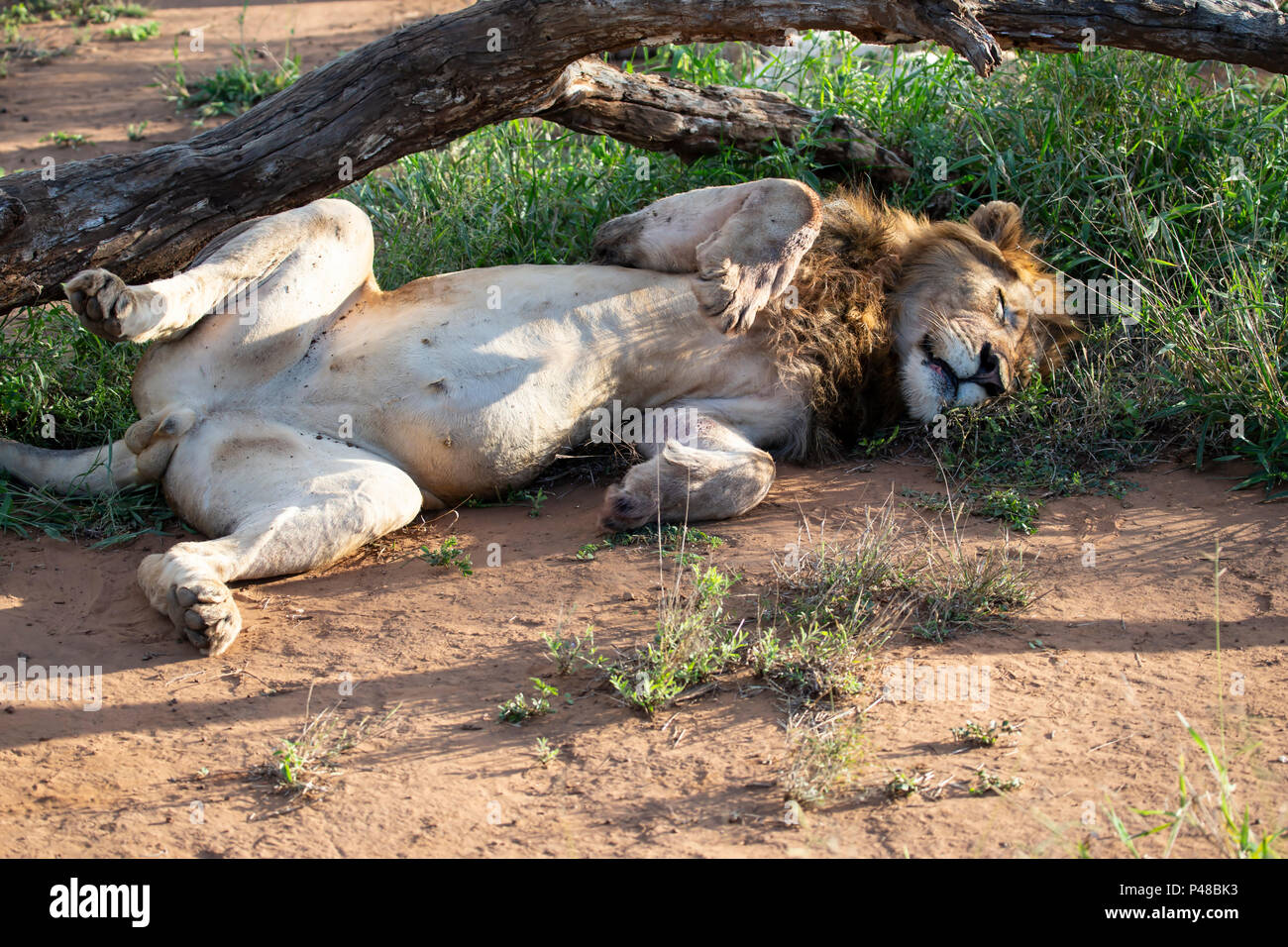 Male Lion Panthera leo lying sleeping in an ungainly position Stock Photo