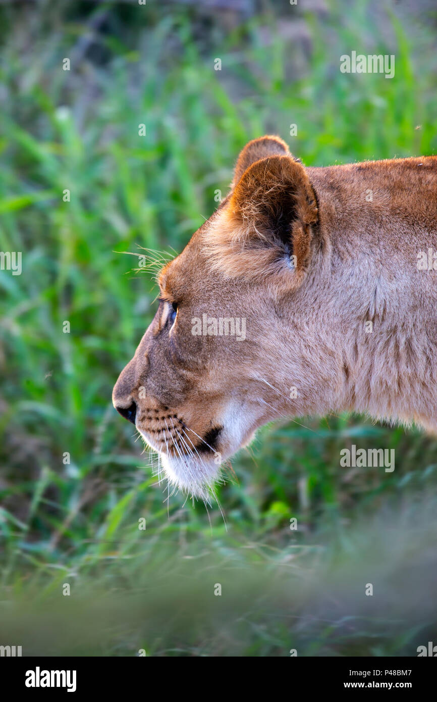 Close up headshot of lioness in hunting mode in South Africa - Stock Image