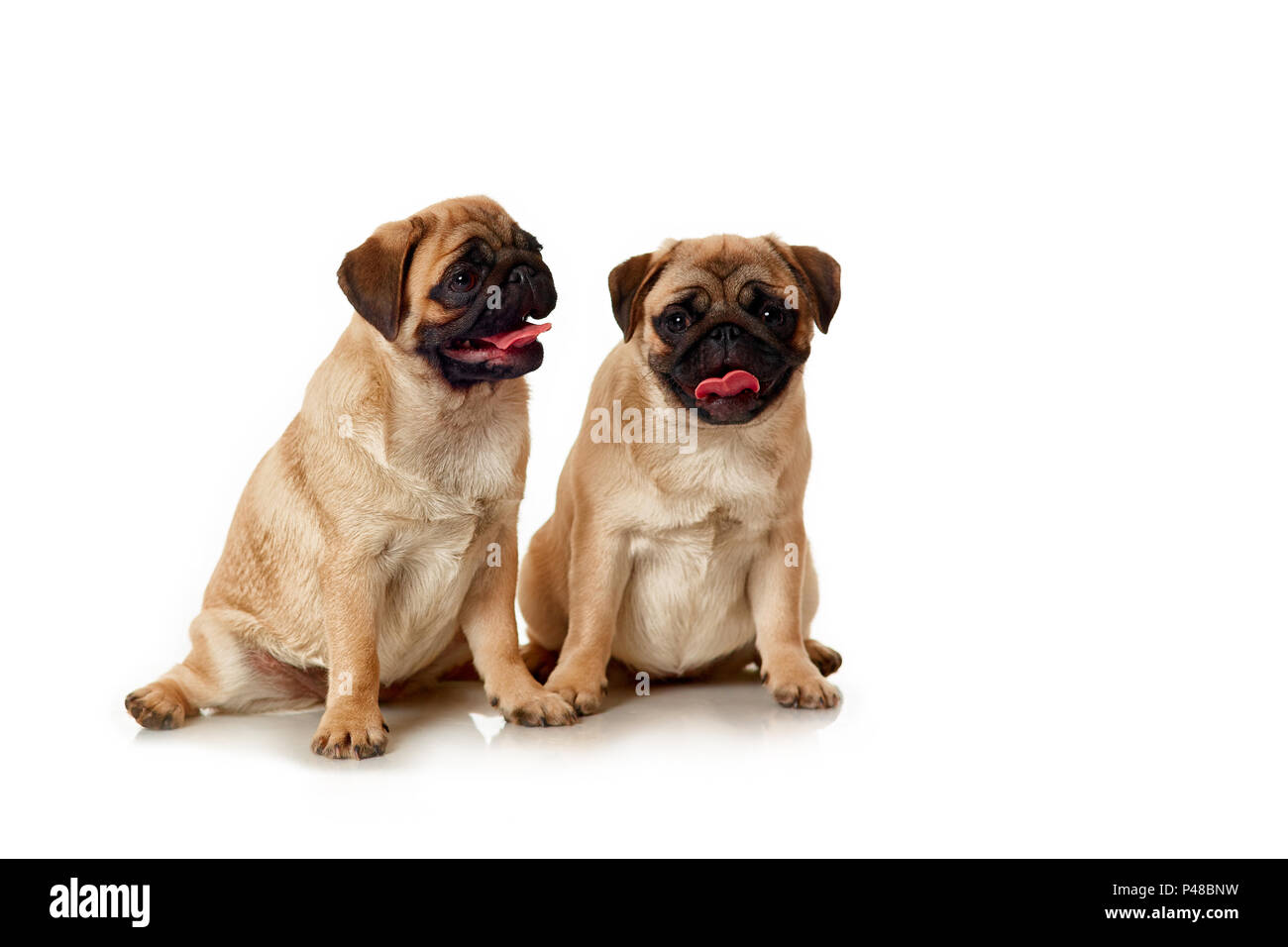 Puppies of pug isolated - Stock Image