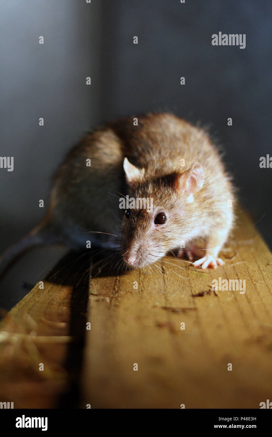 Brown Rat (rattus norvegicus) on wood in the home - Stock Image